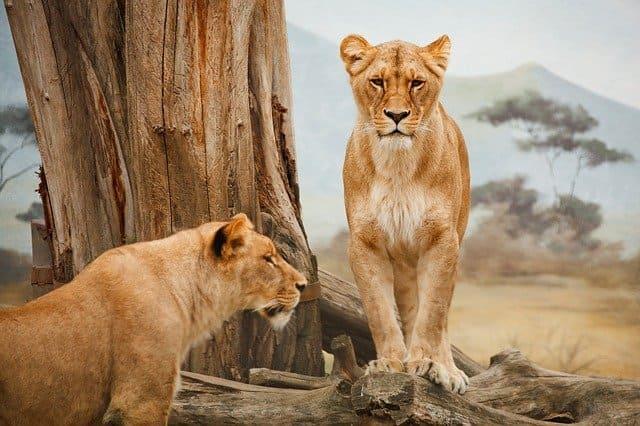Caracteristicas-leon-africano