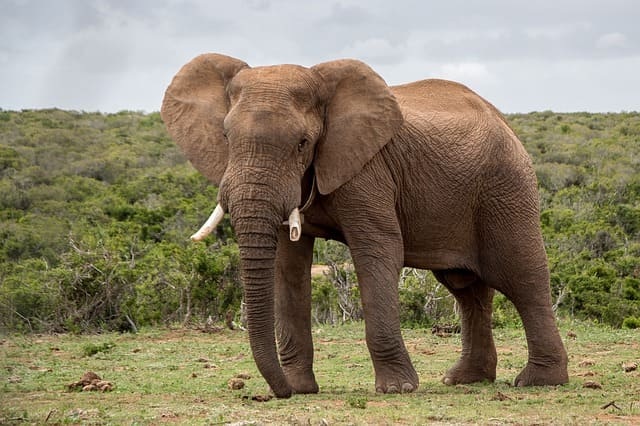 Elefante-Animales-Africanos-Peligrosos