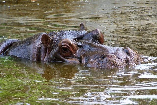 Hipopotamo-Animales-Africanos