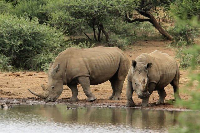 Rinoceronte-Blanco-Animales-Africanos-Peligrosos
