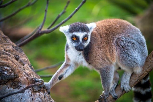 Lemur-de-Madagascar