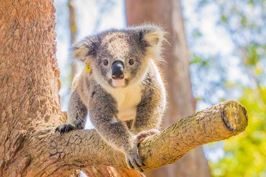 ¡Visitamos un hospital de koalas!