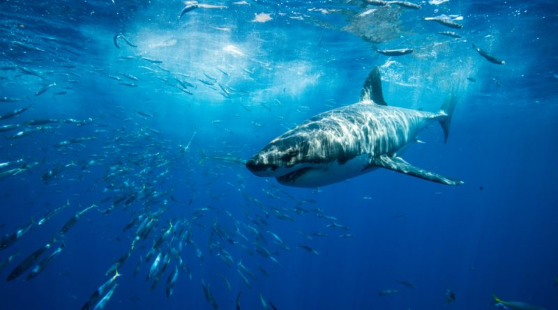 Shark swimming underwater with lots of smaller fish