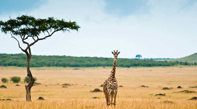 Une girafe dans la savane