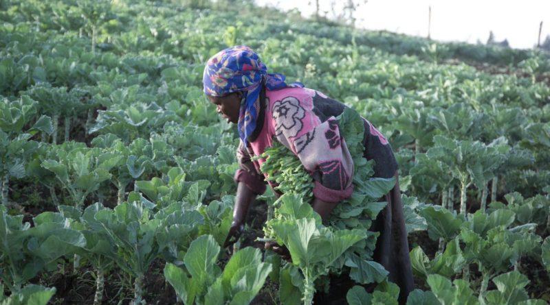 Agricultura sudafricana |  Descubrimiento de Sudáfrica