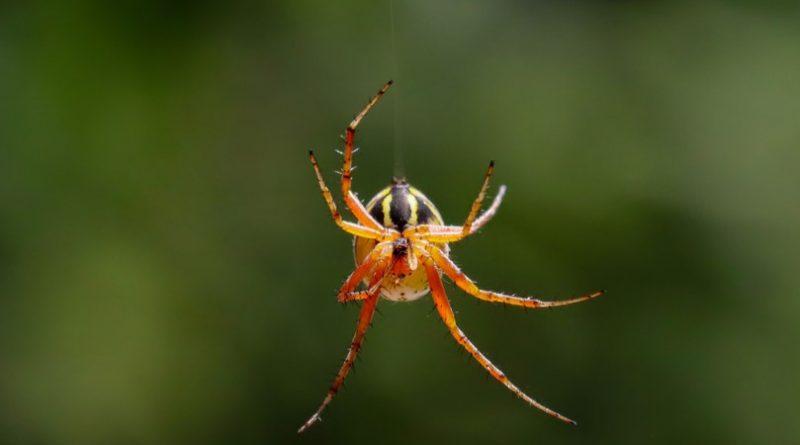 Arañas voladoras |  Animales AZ