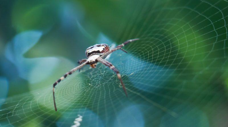 Arañas voladoras: dónde viven