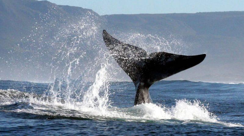 Avistamiento de ballenas en Sudáfrica