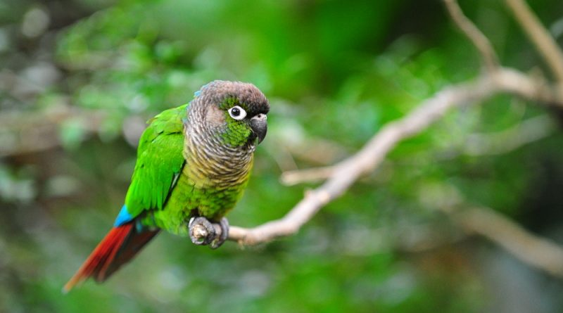 A Green-Cheeked Parrot perched on a small tree branch with foliage in the background.
