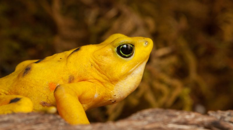 A close-up side profile of a Panamanian Golden Frog with vegetation in the background.