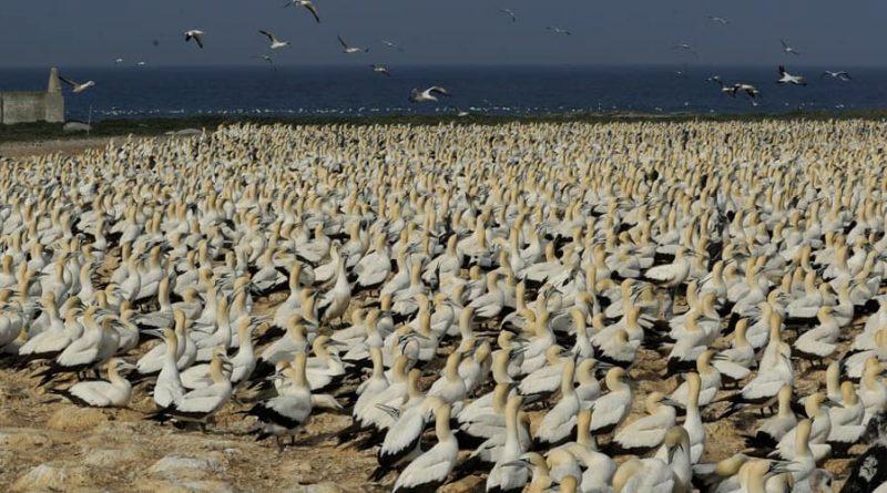 Bird Island: la fortaleza de los pingüinos y alcatraces del norte