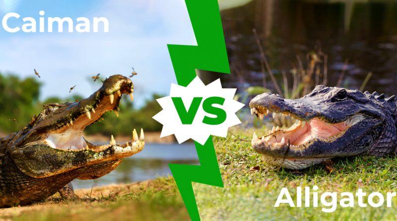 Caimán contra cocodrilo: ¿puedes notar la diferencia?  5 principales diferencias explicadas