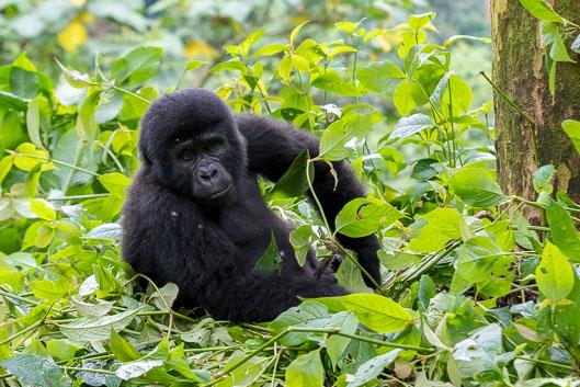 Caminata de gorilas en Uganda