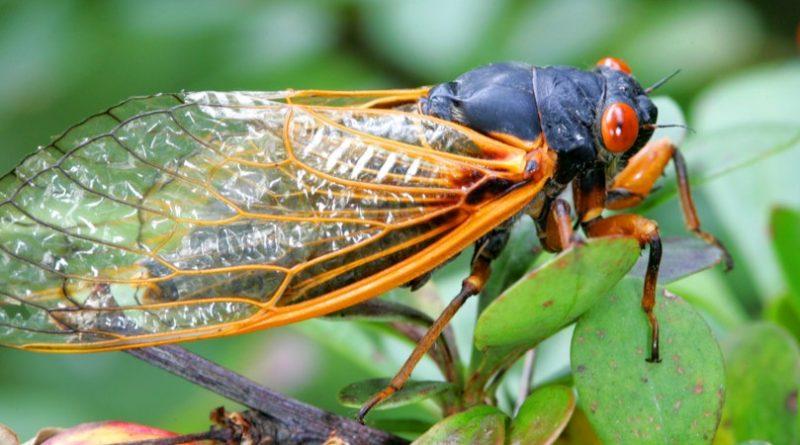 Cicada Brood X 2021: ¿Qué es y debería preocuparte?