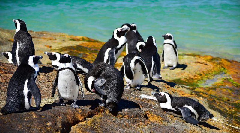 Cómo nadar con pingüinos en Boulders Beach, Ciudad del Cabo
