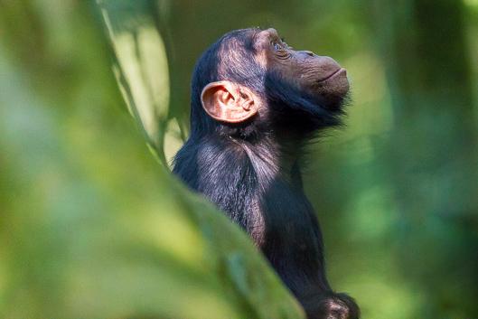 Conoce a los chimpancés en Uganda