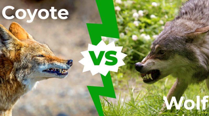 Coyote vs Wolf: las 6 diferencias clave explicadas