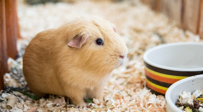 A tan Guinea Pig standing in wood shavings in a wooden cage near food and water bowls.