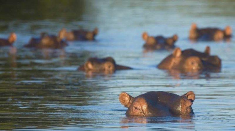 Datos curiosos sobre los hipopótamos