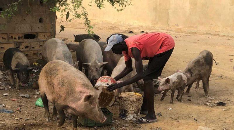 Descubriendo la cría de cerdos en Senegal