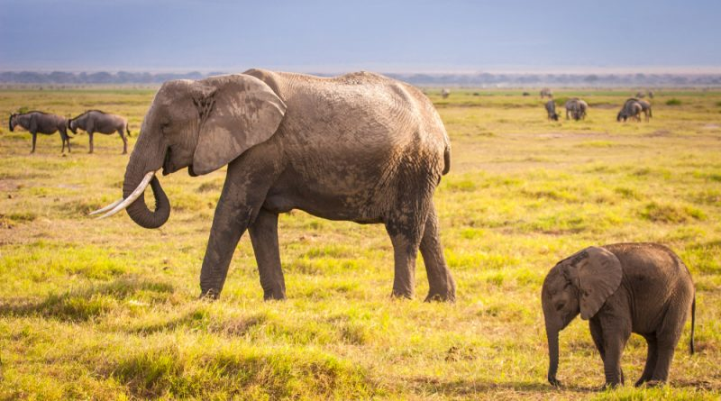 An adult African elephant with a baby walking in a grassy field. Other grazing animals are in the background.