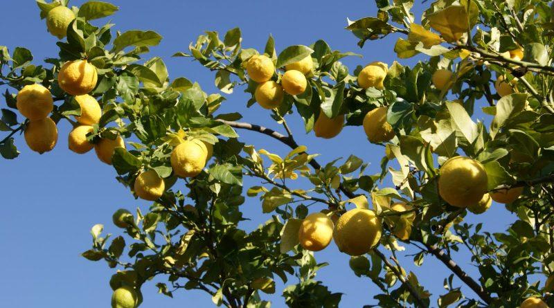 El árbol de Amarula para el licor del mismo nombre