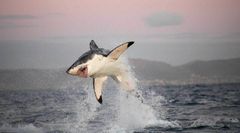 El gran tiburón blanco, el depredador marino más grande de Sudáfrica