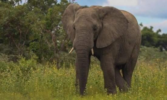 El presidente de Kenia quiere que la protección de los elefantes sea tallada en marfil