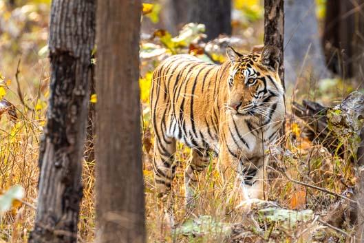 En busca de tigres en la India central