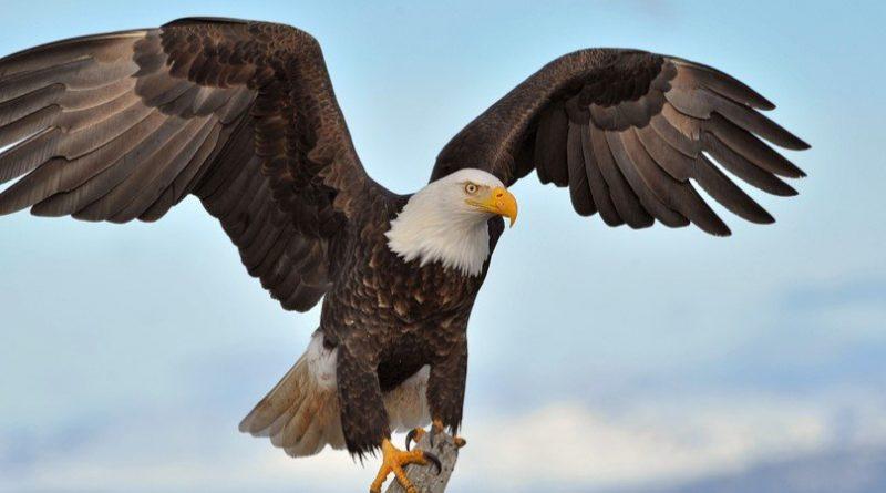 Envergadura del águila: las 9 águilas más grandes del mundo