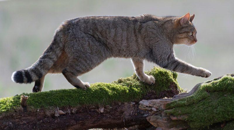 A European wildcat walking on mossy, fallen trees.