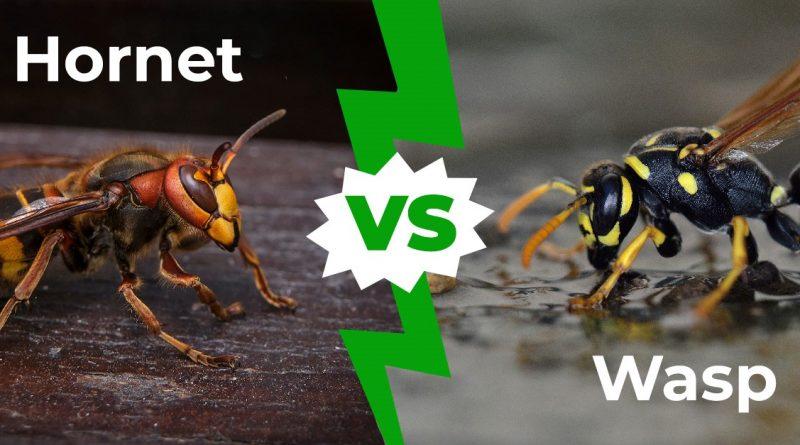 Hornet vs Wasp - Cómo diferenciar en 3 sencillos pasos