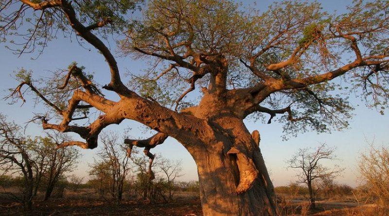 La magia del árbol más ancho que alto - los Baobabs