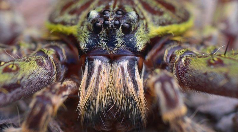Las 10 arañas más grandes del mundo