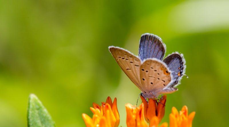 Las 10 mariposas más pequeñas del mundo