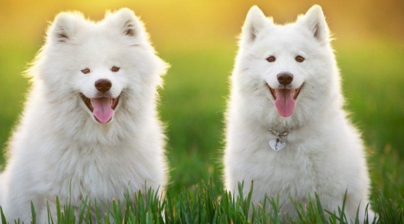 Las 10 razas de perros más caras