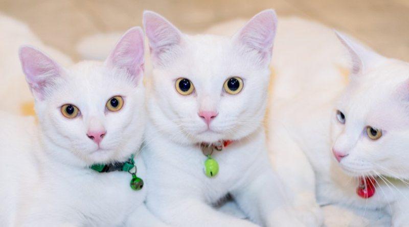 Las 15 razas de gatos más caras