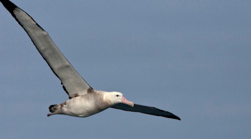 Las 8 aves voladoras más grandes del mundo