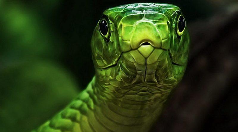 Las serpientes más peligrosas de Sudáfrica (Parte 2)