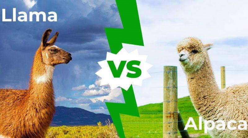 Llamas vs Alpacas - Las 5 principales diferencias explicadas