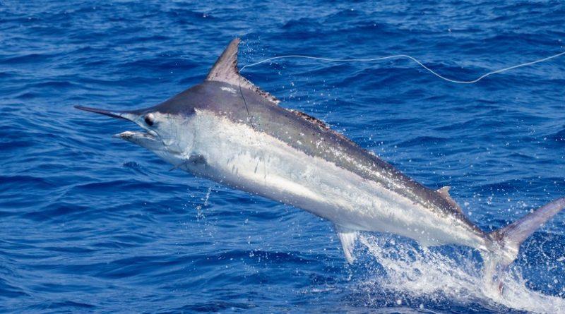 Los 10 animales marinos más rápidos
