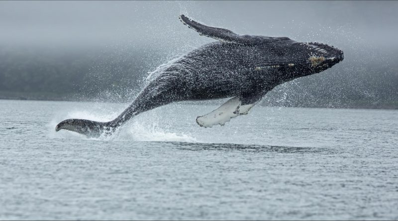 Blue whale (Balsenoptera musculus) - one of the actual strongest animals on earth - most absolute force