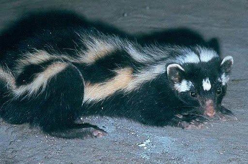 Los 10 animales más olorosos del mundo