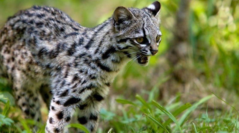 Los 10 gatos más pequeños del mundo