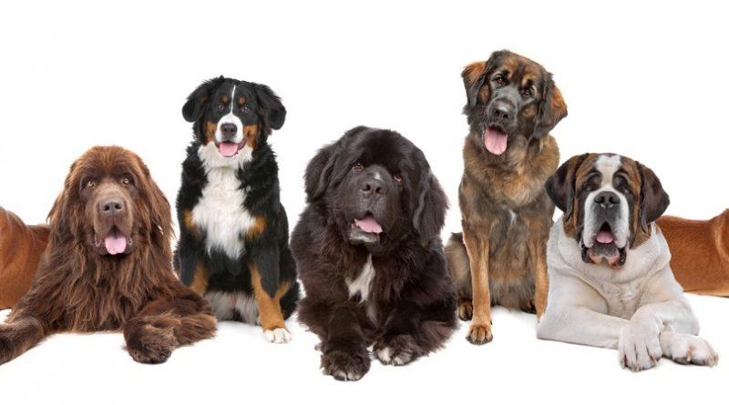 Los 15 perros más grandes del mundo