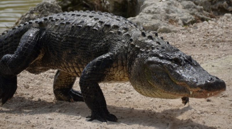 Los 9 caimanes más grandes de la historia