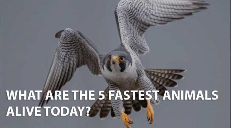 Los animales más rápidos: los 5 animales más rápidos del mundo