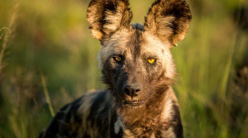 Lycaon o perro salvaje |  Descubrimiento de Sudáfrica