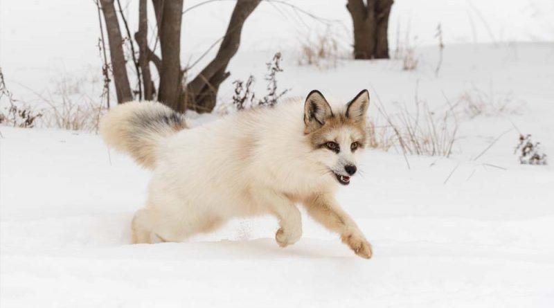 Marble Fox: lo que necesita saber |  Zorro de mármol canadiense