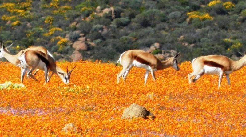 Namaqualand: flores en abundancia